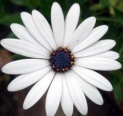 Daisy (maya_dragonfly) Tags: white plant flower macro nature garden whiteflower flora olympus daisy botany africandaisy osteospermum gardenplant summer08
