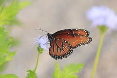 Some more Butterflies (SomeGuyinSimi) Tags: color nature butterfly pretty texas heard buttterflies