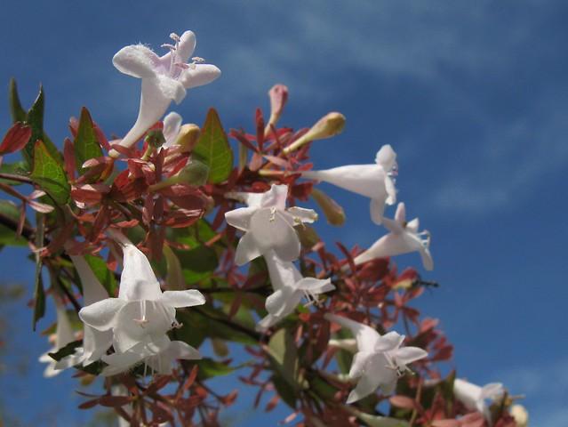 Photo: Abelia grandiflora