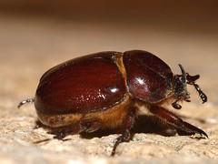 Phyllognathus excavatus (diegocon1964) Tags: coleoptera polyphaga scarabaeoidea scarabaeiformia dynastidae phyllognathusexcavatus pentodontini phyllognathus