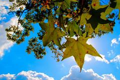 Gum tree, Oak leaves, blue skies... Fall. (.I Travel East.) Tags: blue autumn fall clouds temple oak