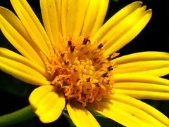 Lovely yellow Flower (SenShots / Senthilmani's Photography) Tags: flowers light flower detail macro texture nature colors beautiful beauty leaves yellow closeup canon photography colorful bright awesome blossoms m buds lovely sen closer naturally dil senthil photographyrocks msenthil sendil anawesomeshot theunforgettablepictures goldstaraward wonderfulworldofflowers senshots senthilm armsenthil senthilmani senshotsphotography senshots2008