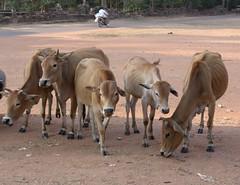 Kambodscha - Angkor - Khe suchen nach Fressbarem (roba66) Tags: animal animals tiere kuh cambodia kambodscha cows siemreap angkor bauwerk tier khe ruinen ausgrabungen earthasia vanagram roba66