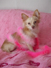 Pretty in Pink Chihuahua (Ashlynn's Dreaming) Tags: pink party dog pet chihuahua fashion animal fur beads pretty feminine boa diva dressed