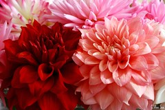 Stunning Beauty (BigKidsLoveToys - off more than on) Tags: dahlia flower color colorful bloom brilliant abigfave theunforgettablepictures goldstaraward