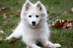My American Eskimo Puppy (lehcar1477) Tags: dog white cute fall leaves puppy miniature dof bokeh adorable fluffy mini american leash breed 4months phantom eskimo autmn purebred eskie