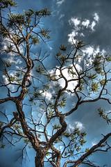 rvore do Cerrado - HDR (Jayme Diogo) Tags: