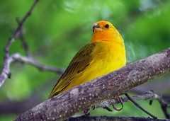 Canrio-da-terra - (Saffron finch) - (Sicalis flaveola) (claudio.marcio2) Tags: bird nature natureza vivid pssaro birdwatcher sobeautiful allyouneedislove featheryfriday artofnature flickrnature wingedwonders mywinners abigfave anawesomeshot colorphotoaward nationalgeographicareyougoodenough avianexcellence excellenceinavianphotography citritgroup freenature worldofanimals prettynaturephotos photostosmileabout naturewatcher theworldsbestnaturewildlifeandmacrophotography everydayissunday theperfectphotographer astoundingimage goldstaraward bettherthangood birdsinsideandoutside rubyphotographer salveanatureza worldnaturewildlifecloseup planetaterraeseusanimaisincrveis vosplusbellesphotos thewonderfulworldofbirds naturegreenstar naturescreations birdsarebeautifiul