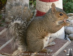 P2180704  Ms Webster wanted to wish all her Flickr Friends a great weekend. (Frozen in Time photos by Marianne AWAY OFF/ON) Tags: nature squirrel squirrels critter wildlife critters webster backyardcritters animalphotography sciuruscarolinensis easterngreysquirrel nationalgeographicwannabes freenature eperkeaward ~nature webstersadventures soloanimalesonlyanimals mswebster veryspecialspictures checkoutthenewphotosofmswebster nationalgeographiswannabes