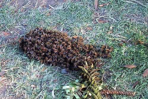 abejas en grupo