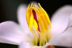 Glory Bush    alias: Himalayan Opal (naruo0720) Tags: plant flower macro nature closeup nikon bokeh d300 naturesfinest abigfave glorybush platinumphoto ysplix theunforgettablepictures overtheexcellence goldstaraward flickrestrellas osbeckianepalensis ヒマラヤンオパール