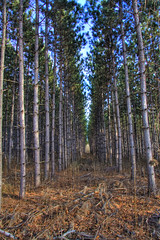 pines (bogdog Dan) Tags: tree pine wisconsin logging crop plantation schaumburg hdr wautoma