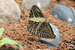 Colobura dirce dirce (Dirce Beauty) (Arthur Chapman) Tags: butterflies insects bolivia lepidoptera insecta nymphalidae madidi dirce tuichiriver dircebeauty colobura taxonomy:class=insecta taxonomy:order=lepidoptera taxonomy:family=nymphalidae geocode:accuracy=1000meters geocode:method=googleearth geo:country=bolivia taxonomy:genus=colobura taxonomy:binomial=coloburadirce coloburadircedirce taxonomy:trinomial=coloburadircedirce taxonomy:common=dircebeauty