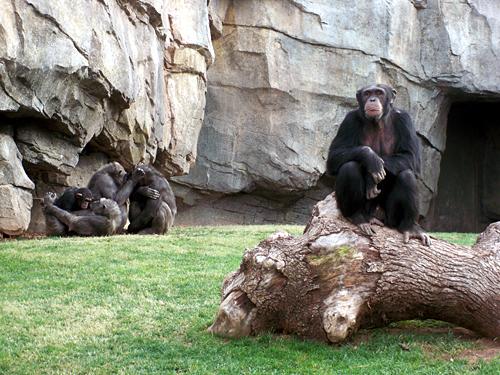 Valencia-chimpanze