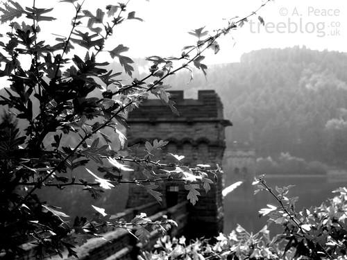 hawthorn above Derwent Dam