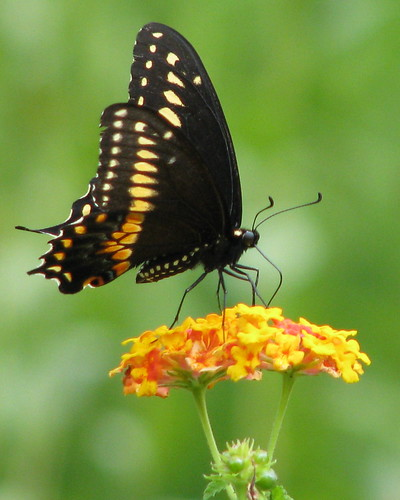 12 Days of Christmas Butterflies - #10 Black Swallowtail by Vickis Nature