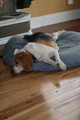 Let Sleeping Dogs Lie (Let Ideas Compete) Tags: colorado relaxed dog beagle hound sleeping bubba co centennialstate hickory wood flooring united states us usa unitedstates america essence hounds mansbestfriend flickrdog