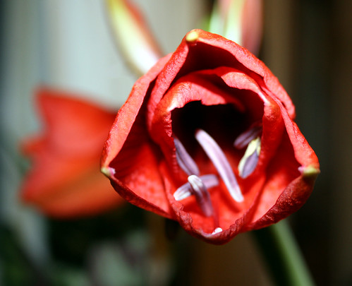amaryllis flower half bloom 2
