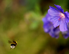 Busy, Busy... (Jane in Colour) Tags: blue flower macro yellow garden insect flying wings furry cosina flash bee bumblebee pollen meadowcranesbill geraniumpratense macrolicious sonya100 sonyalpha macrolife minoltaamount janethomas sonyhvlf42am janeincolour