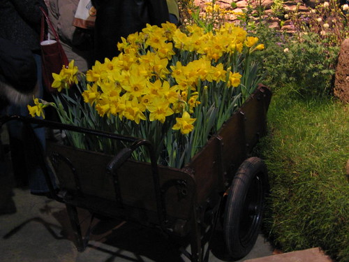 Wheelbarrow of daffodils