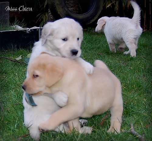Lab puppies playing