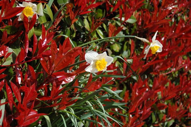daffodil_red_tips_wide