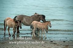s7-3154 (Lothar Lenz) Tags: horse caballo cheval wasser pony cavalo pferd hest equus paard hst fohlen konik hestur herde konj hobu zirgs fotolotharlenz