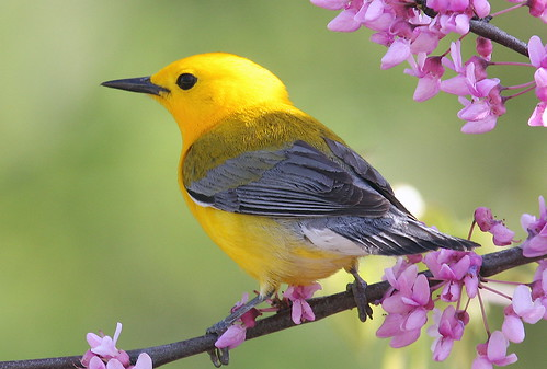 Prothonotary Warbler   By Mark Trabue