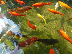 Koi Fishes In Clear Water. (ighosts) Tags: travel shadow fish color reflection swim ilovenature thailand aquarium journey zen koi clearwater potofgold koifishes