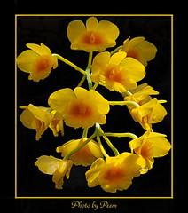Dendrobium Chrysotoxum1