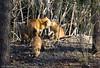 Hidden wildlife - Vie sauvage caché (Luc Deveault) Tags: city urban canada animal island quebec montreal wildlife ile notredame québec fox luc ville urbain sauvage renard deveault lucdeveault