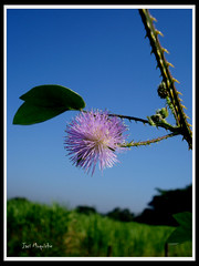 Florzinha do mato (Jaci Moquiche) Tags: blueribbonwinner simplyflowers florsilvestre supershot diamondclassphotographer flickrdiamond salveanatureza flickrlovers solidaritywithcancersolidaridadconelcncer