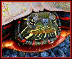 "I Will Not ""Say Cheese""! (pinecreekartist) Tags: macro turtle pennsylvania pa wellsboro chiaramonte pennsylvaniagrandcanyon wellsboropa excapture llovemypics marshcreekpath pinecreekartist tiogacountypachiaramonte"