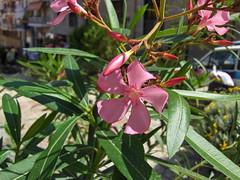 Pink Flowers-Berea (gabagoo) Tags: greece berea beroea inthefootstepsofpaul