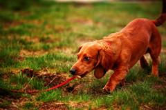 Jackson 2 (Mike Gilbert Photography) Tags: seattle park summer dog mike washington lucy jackson dachshund mountrainier rainier 20052009michaelgilbertallrightsreserved