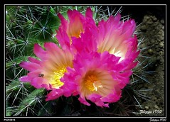 FLOWERS OF CACTUS IN MY WIFE'S GARDEN  -   P6293816 (Felipe 1930) Tags: flowers our cactus garden di sensational fiori visualart giardino pictureperfect nel in naturesfinest nostro supershot flowerotica bej golddragon of mywinners mywinner abigfave fioridicactus platinumphoto colorphotoaward impressedbeauty fabulousflowers diamondclassphotographer citrit freenature theunforgettablepictures overtheexcellence colourartaward filippo1930 betterthangood flowersandgarden goldstaraward allkindsofbeauty rubyphotographer auniverseofflowers photographersgonewild flowersofcactus fabcappsphotoshop7 beeandthorns apeespine naturescreations dragonflyawardgroup