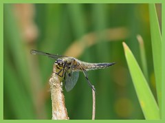 libellula quadrimaculata / vierflecklibelle II (spiritofredhorse) Tags: naturesfinest width48 height48 altnaturesfinest macromix