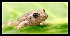 Rana (danigeorge) Tags: macro green eye animal 35mm ojo natural olympus frog e3 makro rana zuiko cantabria testura anfibio fourthirds uro danigeorge danieljorge