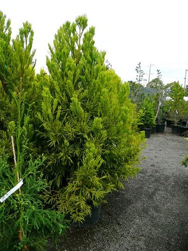 Cryptomeria japonica 'sekkan suji'