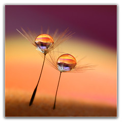 Ballet dancers (heokieng) Tags: two ballet color macro reflection water drops dancers dandelion refraction droplet waterdrops liquid waterdroplet bokehlicious alemdagqualityonlyclub vietbestphoto