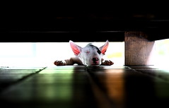 sleep mode (kunoan) Tags: dog english thailand bull terrier muji moog impressedbeauty mookka