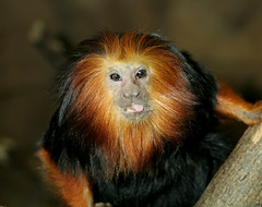 Goofy Golden-headed Lion Tamarin (Tad 20D) Tags: animal mammal monkey stlouiszoo tamarin leontopithecuschrysomelas goldenheadedliontamarin