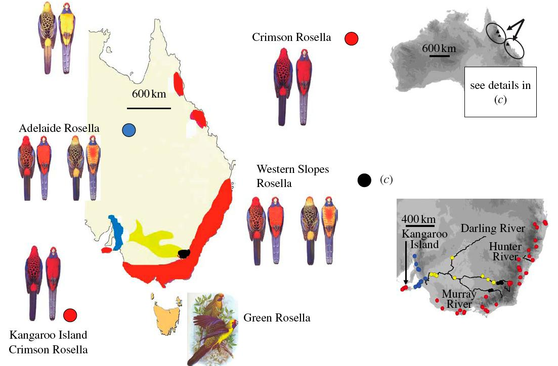 Rosellas rings and speciation testing the ring species hypothesis doi 101098rspb20080765 ccuart Choice Image