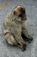 Gibraltar (Andy Fitzsimmons) Tags: monkey gibraltar apes barbaryape