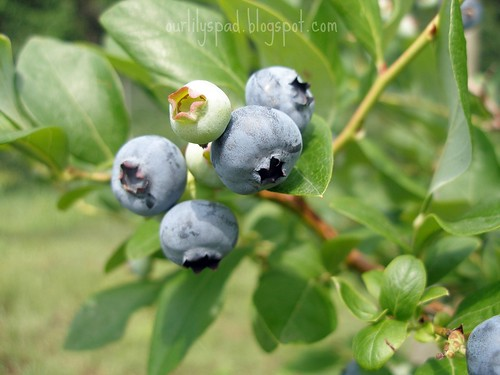 Yummy blueberries