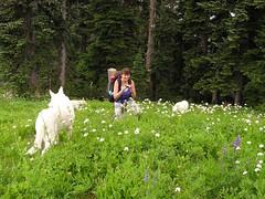 Heidi and her herd