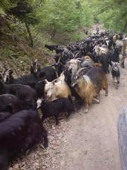 oban ve kei srs (Sertac08) Tags: camp forest turkey photo nice place trkiye human yol hayat araba insan gezi yeil aa kei hayvan yaprak doa oban golddragon dn sr keiler