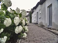 Lith Engwijkpad met horthensias. Lith: Engwijkpad with hydrangeas (petervandelavoir) Tags: netherlands lith fabulous bloemen hydrangeas noordbrabant estremit excapture engwijkpad horthesias