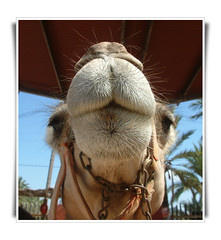 A face only a mother could love - Una cara slo una madre podra adorar (Ron in Blackpool) Tags: animal closeup fauna spain close ron alicante camel region curtis elche costablanca comarca alcant alicant marinabaja marinabaixa elxe roninblackpool roncurtis