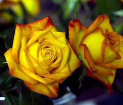 Blumen fürs Wochenende / Flowers for the weekend (schreibtnix on'n off) Tags: flowers plants macro nature rose closeup blossom natur pflanzen blumen makro blüte nahaufnahme excapturemacro olympuse3 flickrlovers